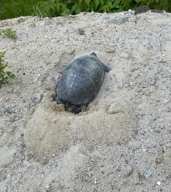 Blanding's Turtle Nesting Sites